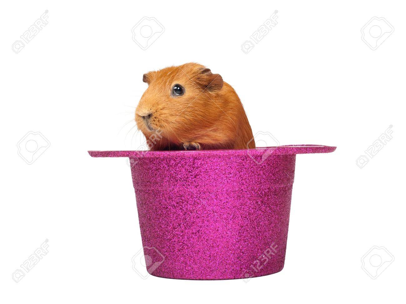 Guinea pig sitting in pink hat Stock Photo - 10906174