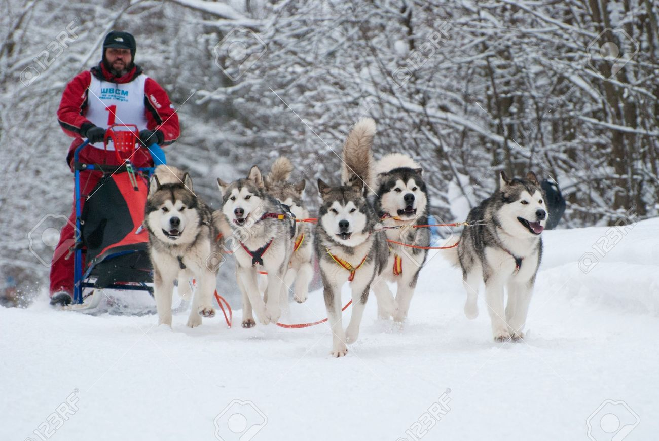 dog sled cup in russia musher and team of alaskan malamutes