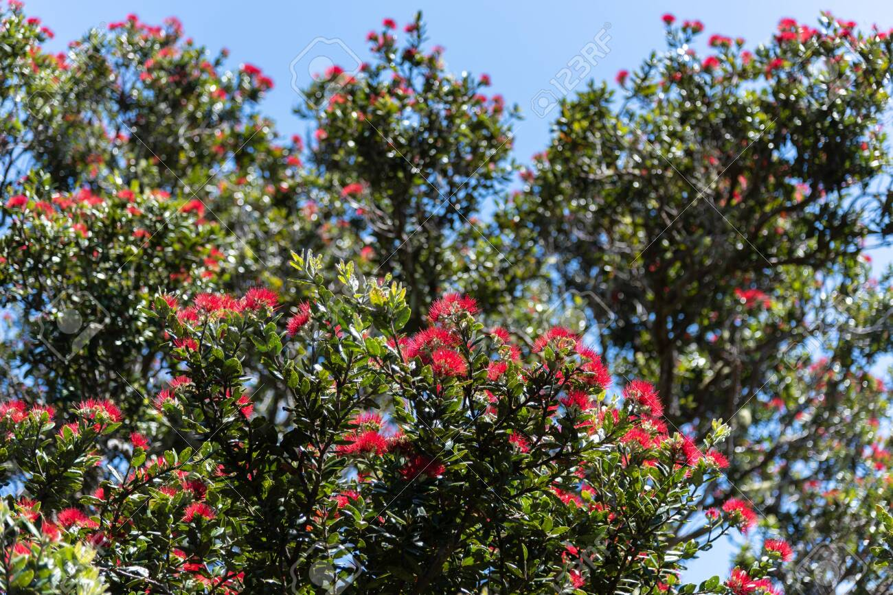 New Zealand Christmas Tree.Pohutukawa New Zealand Christmas Trees
