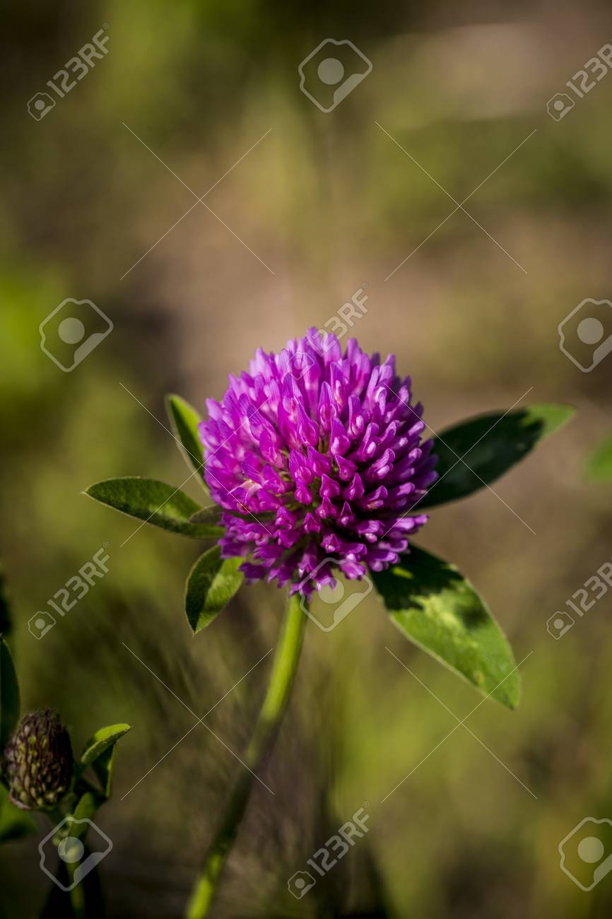 closeup of a red clover in a meadow. Stock Photo - 21917545