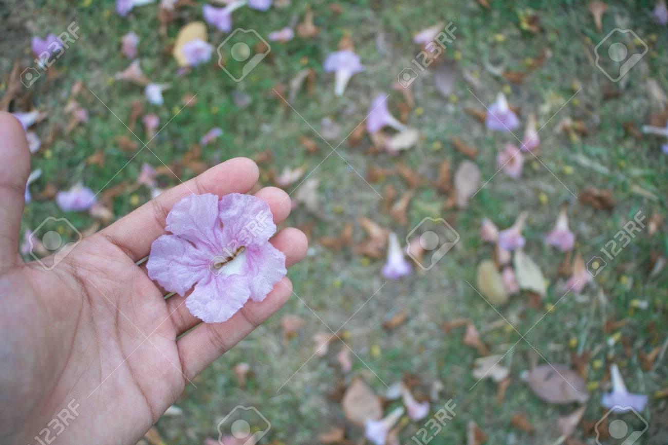 Pink trumpet flower on hand with green grass background at evening pink trumpet flower on hand with green grass background at evening stock photo 71915808 mightylinksfo