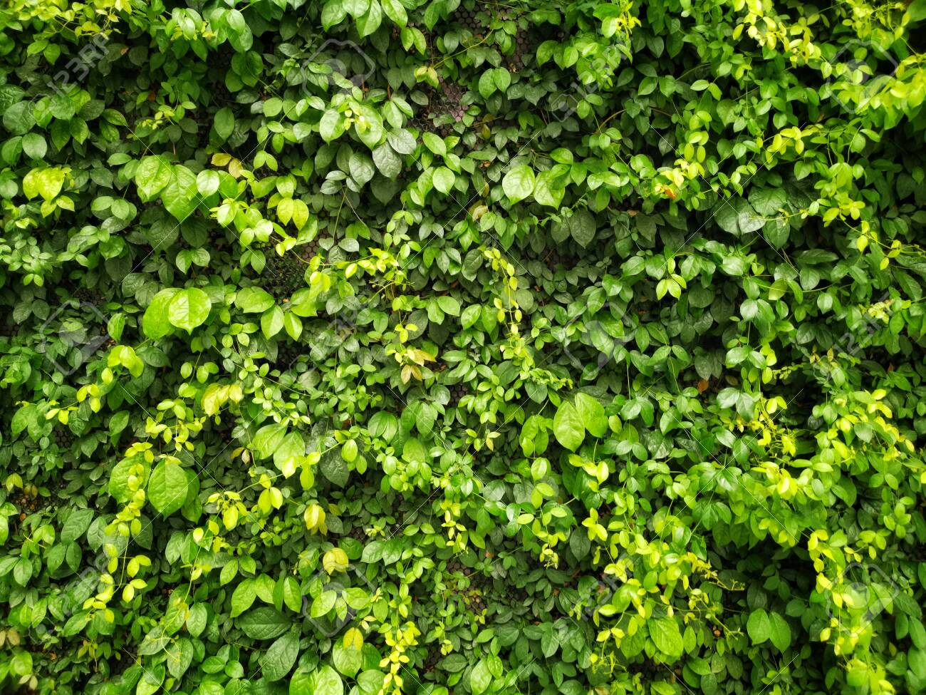 Green creeper or green leaves on the wall texture background - 120444381