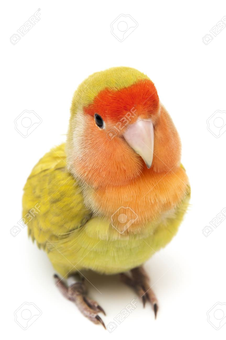 Lovebird colors on a white background Stock Photo - 19574632