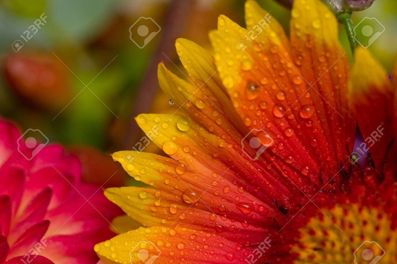 Close up of orange yellow and pink flowers with water droplets close up of orange yellow and pink flowers with water droplets stock photo mightylinksfo
