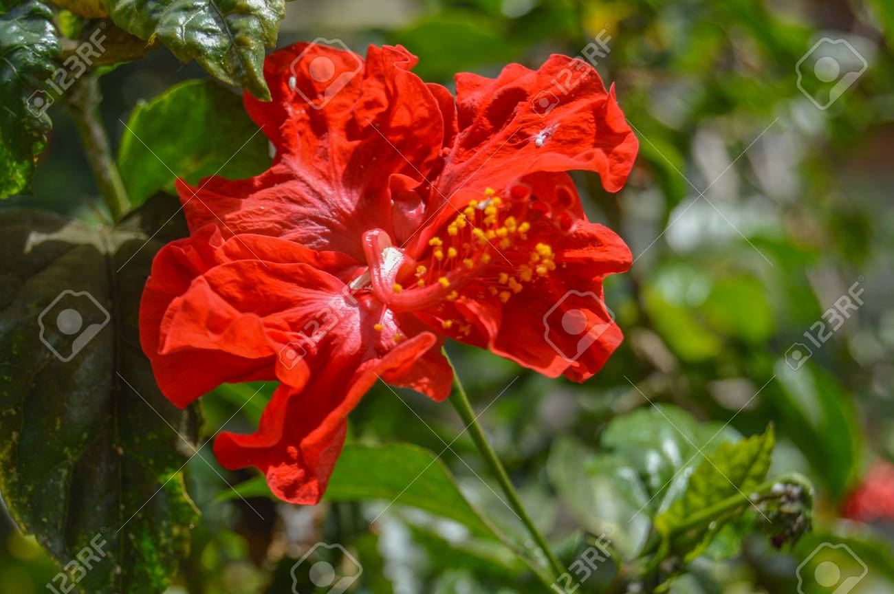 Hibiscus Come In Many Colors From White To Yellow Gold And Stock