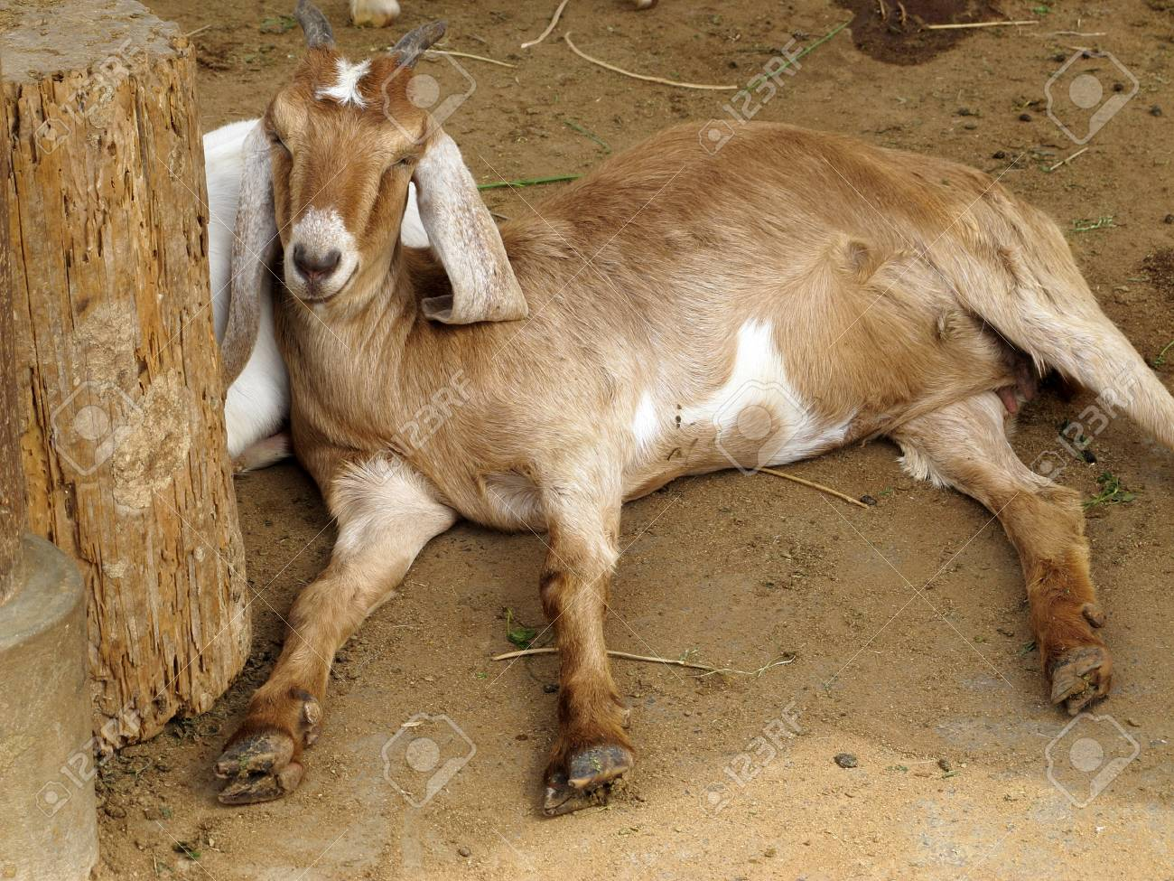 Closeup of a goat on a farm, full of details Stock Photo - 11294274