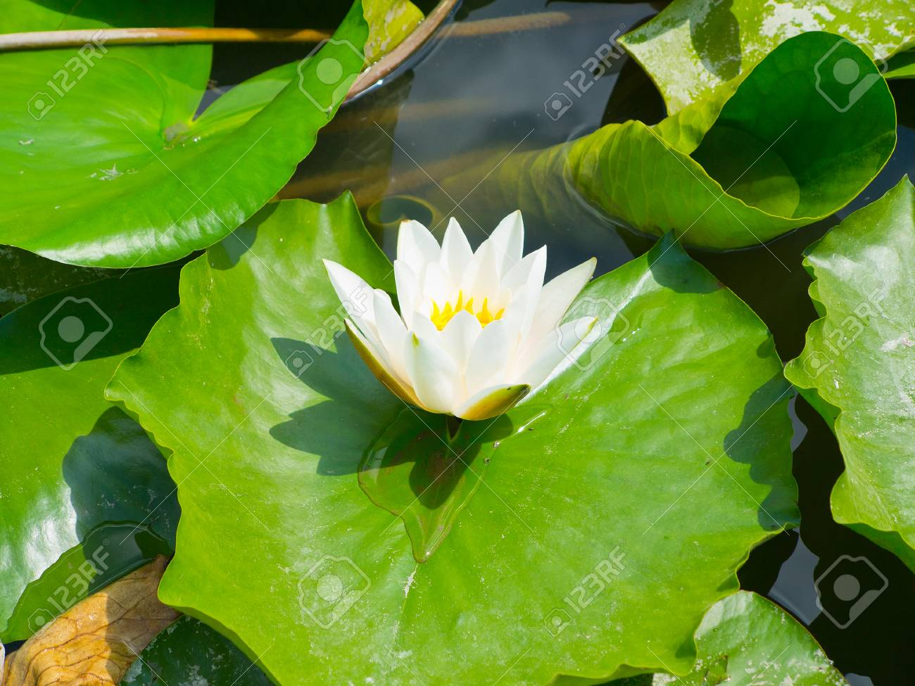 Beautiful pink water lily lotus flower in pond with green leaves beautiful pink water lily lotus flower in pond with green leaves stock photo 50953831 izmirmasajfo