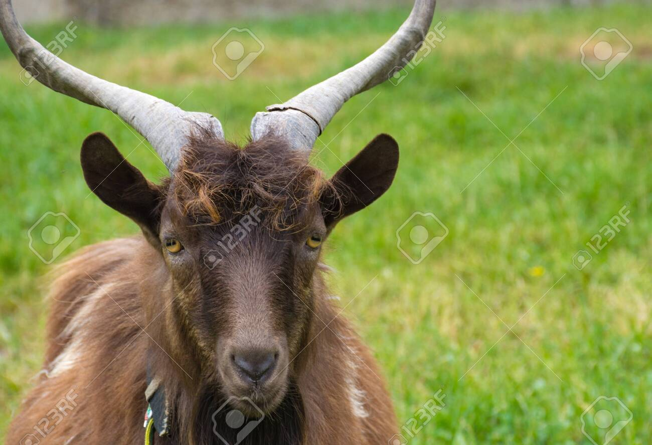 Domestic brown goat grazing on a green meadow, countryside background. - 145070395