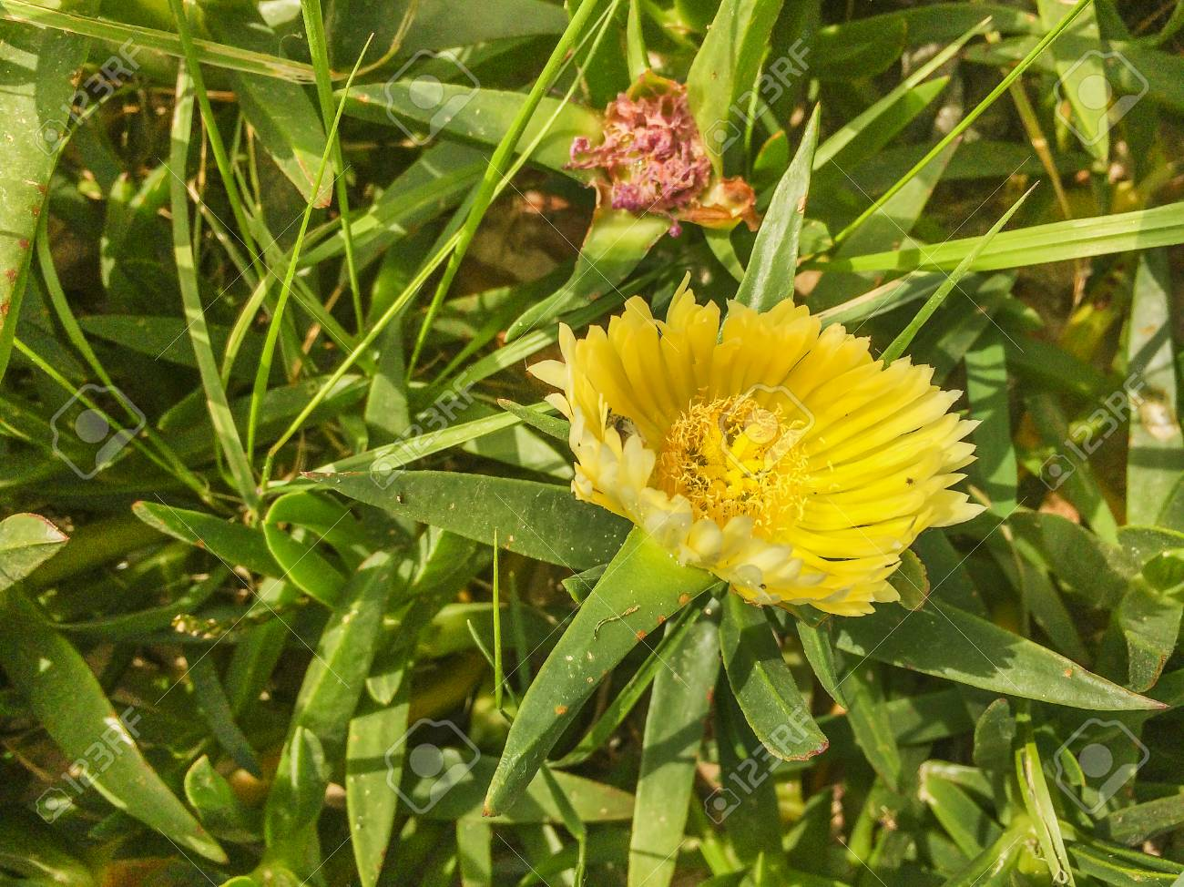 Yellow Flower Of Hottentot Fig Highway Ice Plant Or Pigface Stock