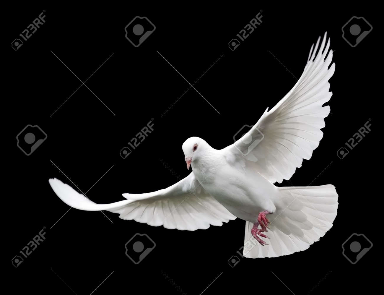 White Dove in Flight 6. A free flying white dove isolated on a black background. - 659240