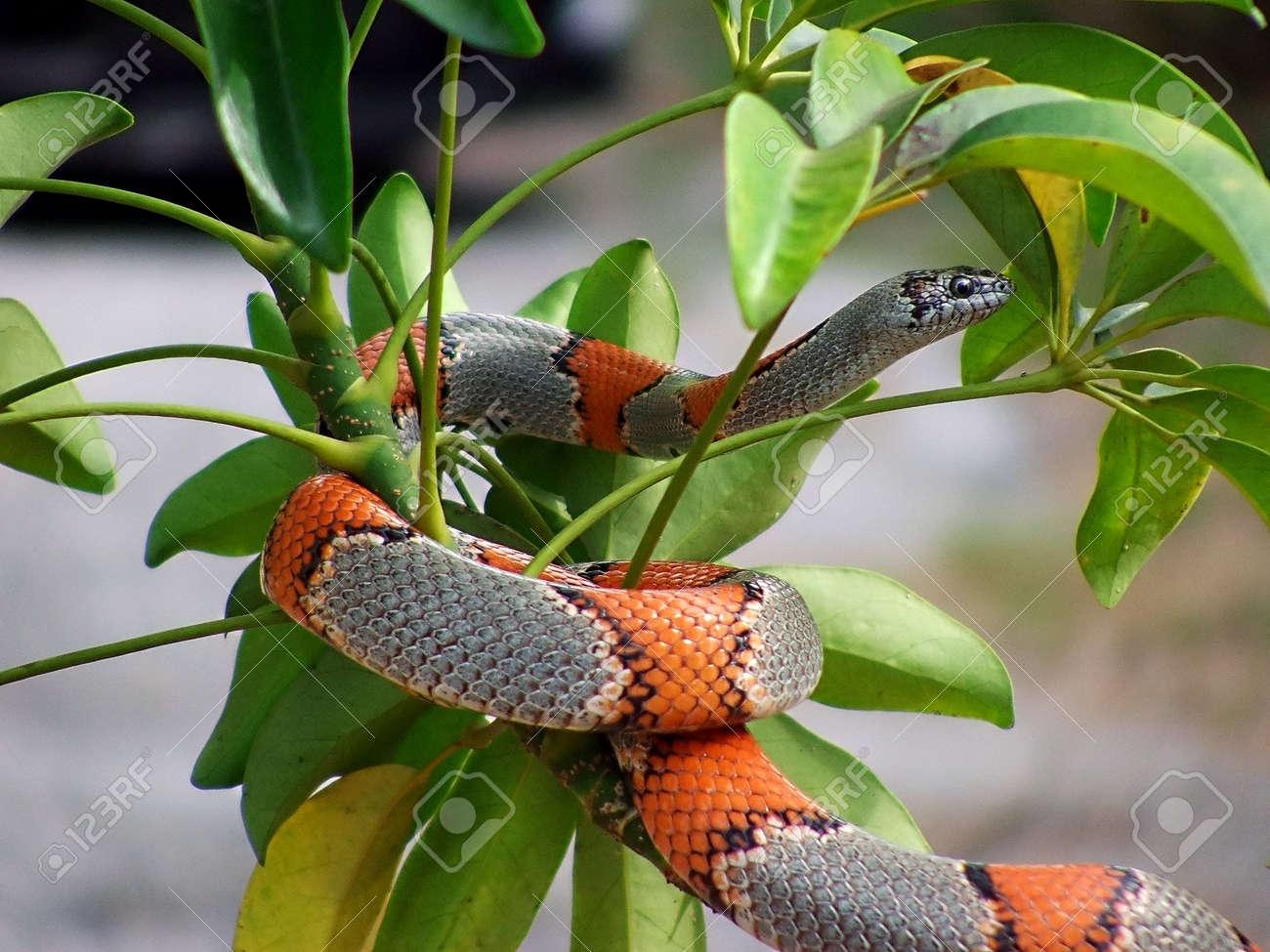 phobia of snakes stock photos royalty free phobia of snakes