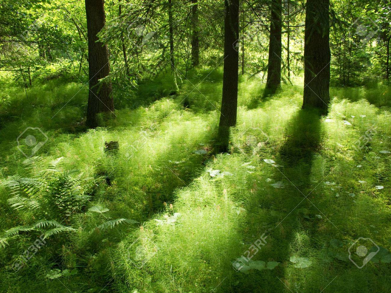 sunshine in the understorage of a coniferous forest in sweden Stock Photo - 7607285