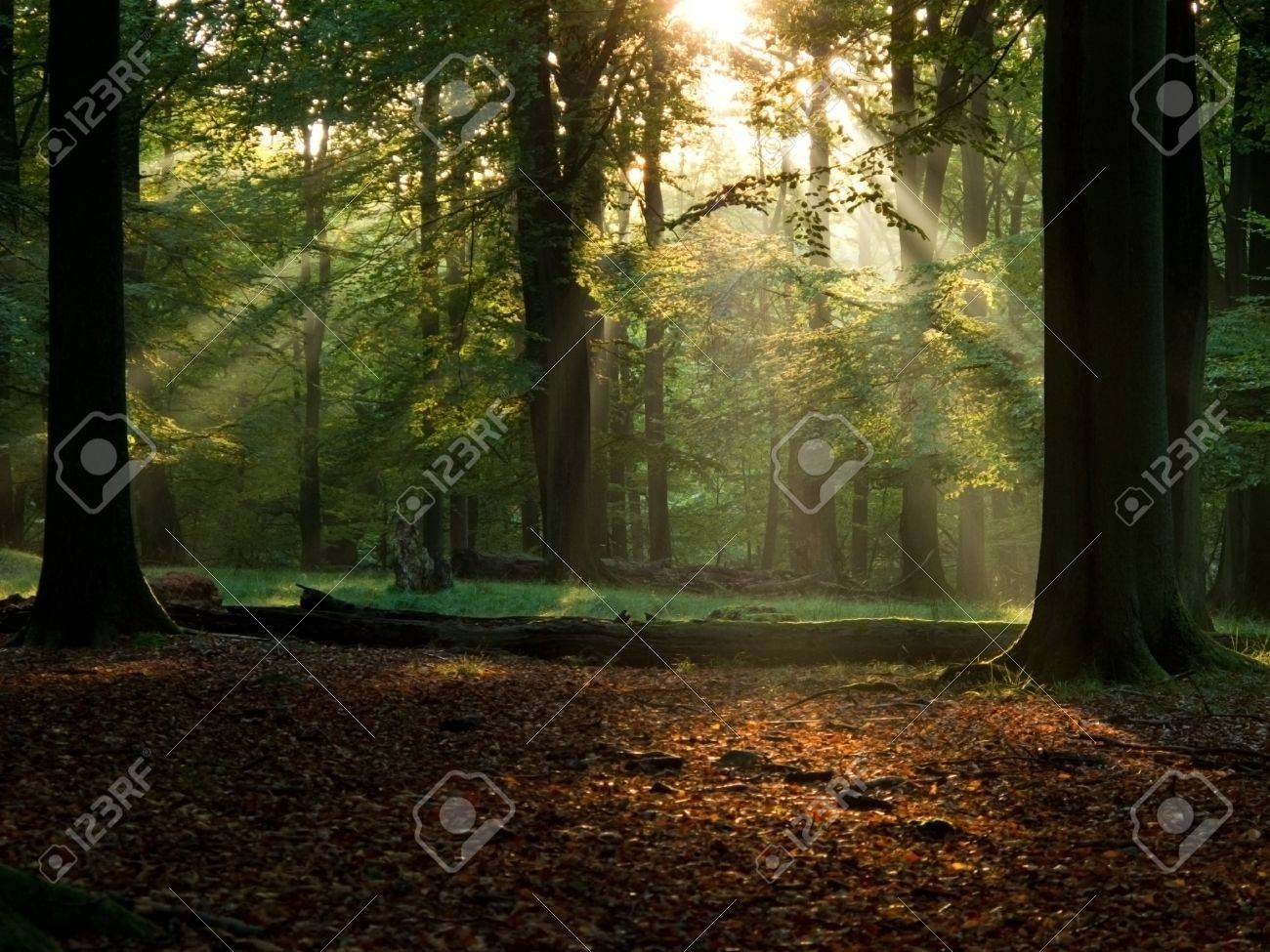 beech forest with fog and warm sunshine in autumn, fall Stock Photo - 8097881