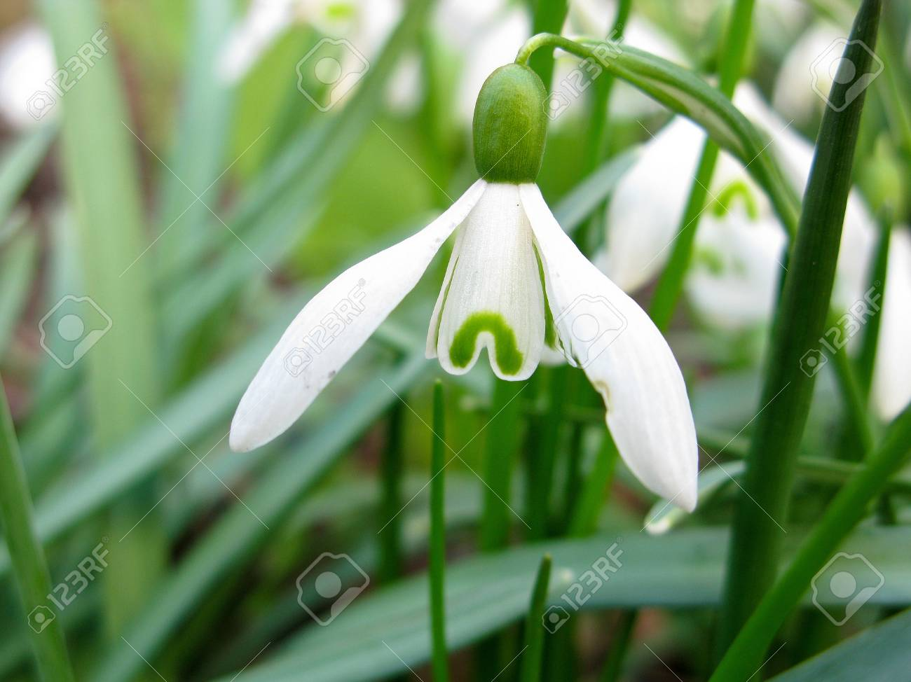 closeup of a Snowdrop flower, Galanthus nivalis, spring Stock Photo - 9172089