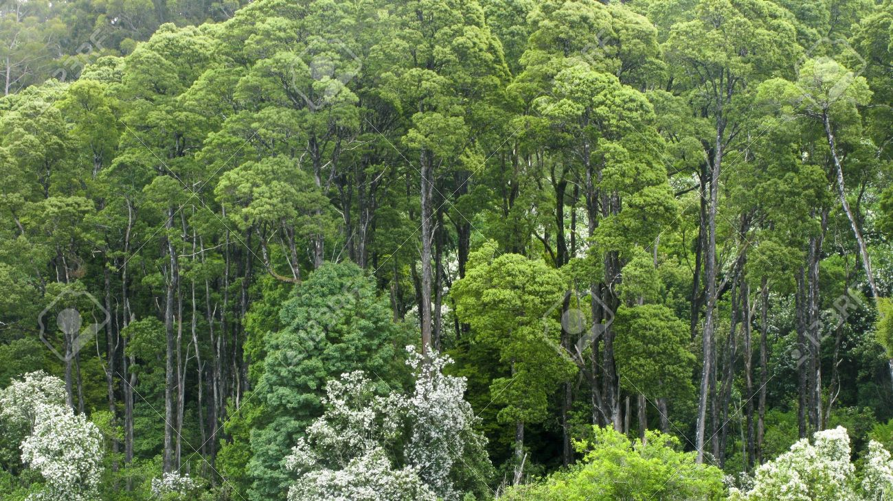 australian rain forest seen from above into the canopy Stock Photo - 9763710 & Australian Rain Forest Seen From Above Into The Canopy Stock Photo ...