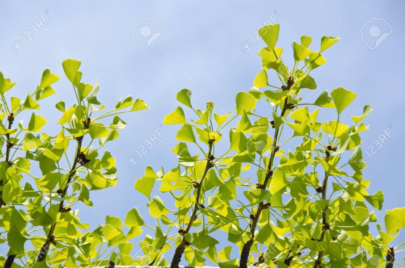 Leaves Of The Ginko Tree Ginkgo Biloba Against Blue Sky In