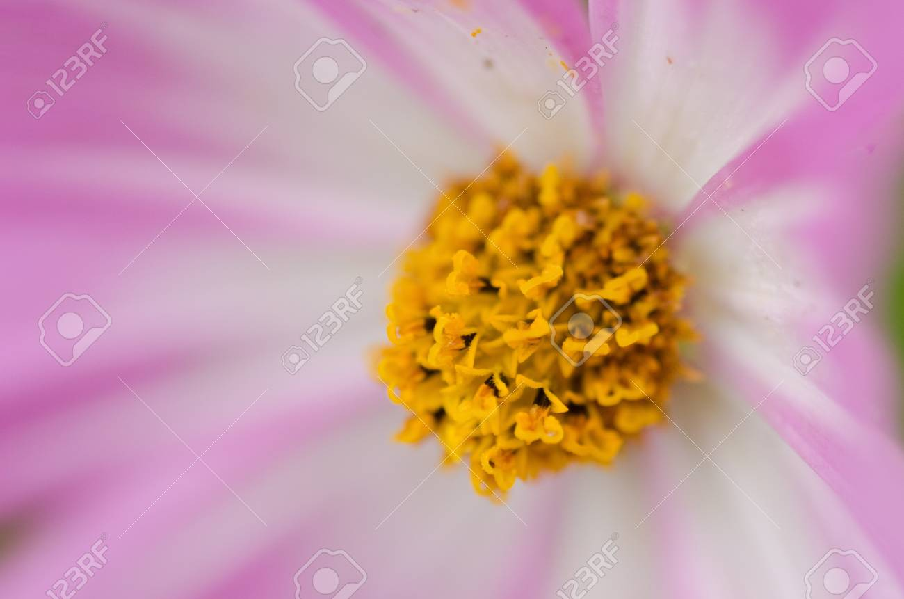 Close up of a single white and pink cosmos flower, Cosmos bipinnatus Stock Photo - 12421042