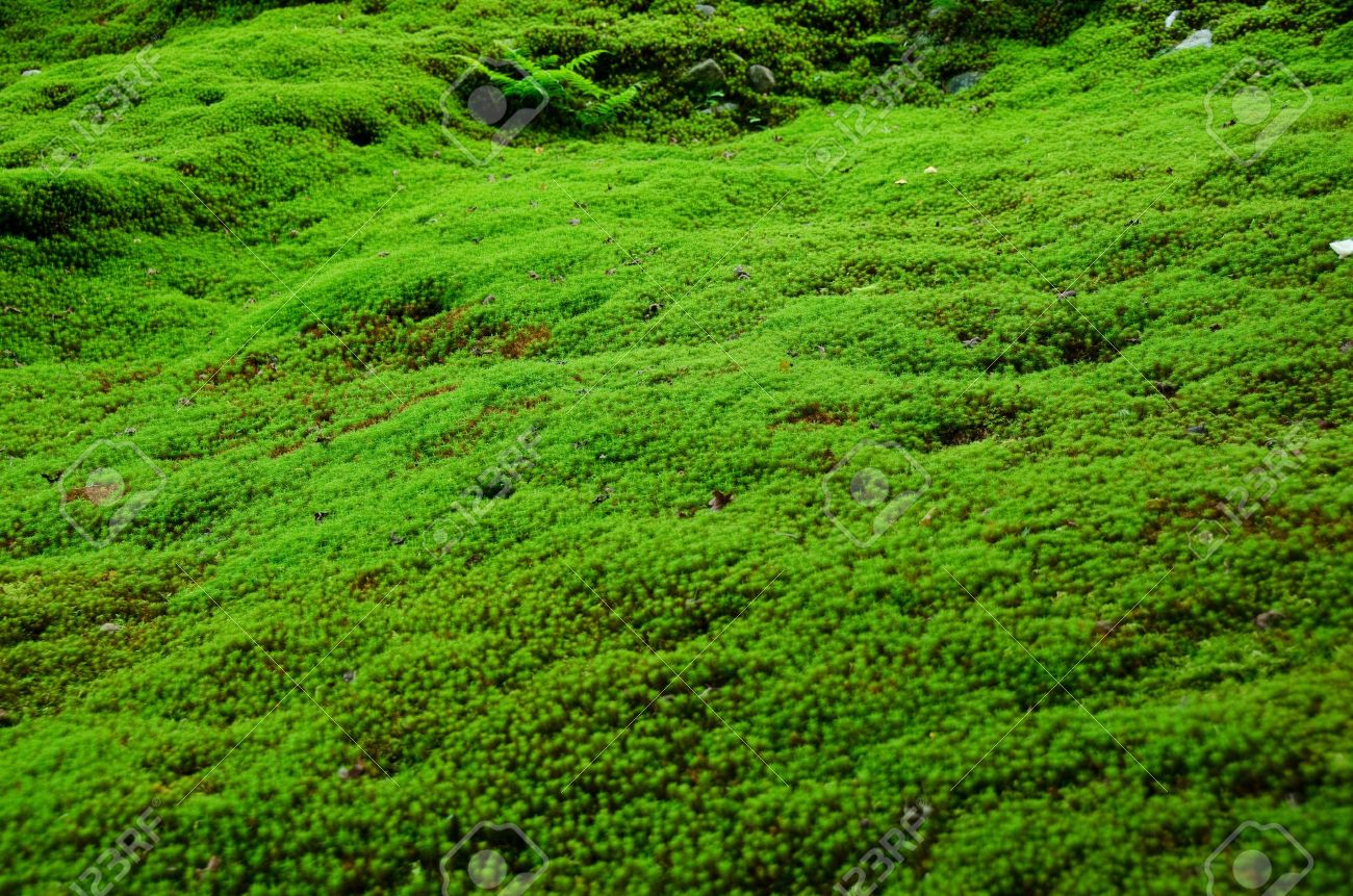 Green Floor natural carpet of green moss on a forest floor, green background