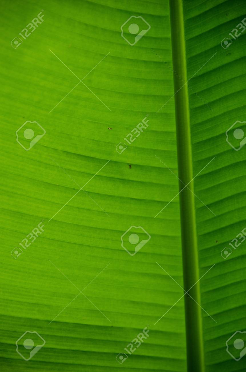 Natural green background of a banana leaf Stock Photo - 12772258