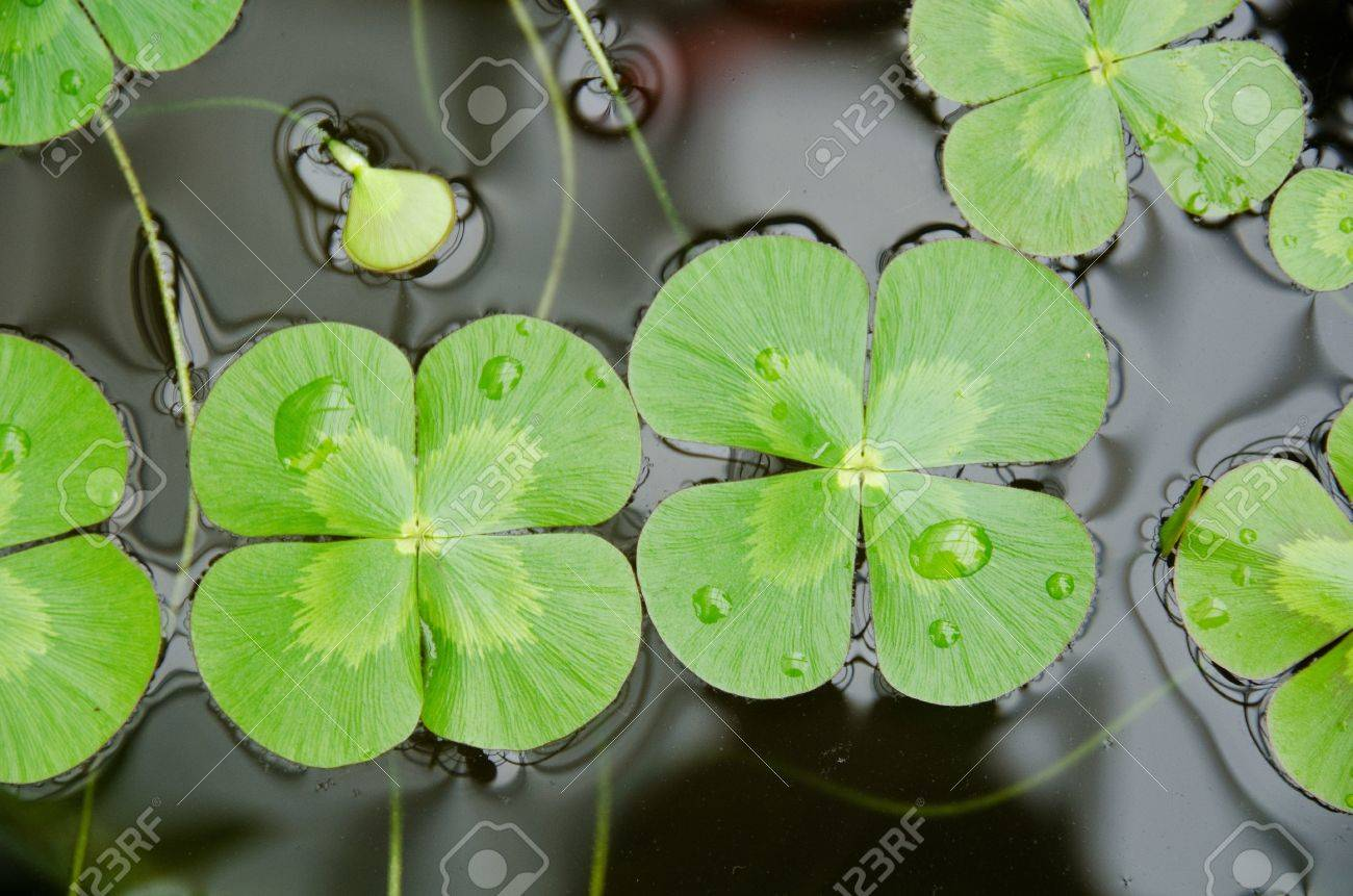 Water clover, Marsilea mutica, with four clover like leaves on water surface Stock Photo - 12945978