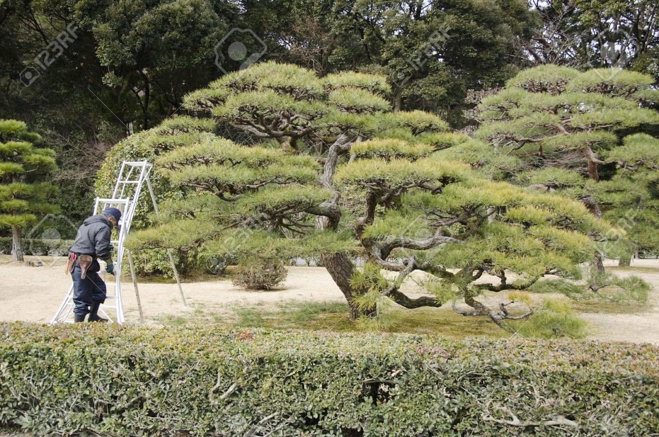 Pruning Of Pine Trees By A Gardener In A Japanese Garden In Japan