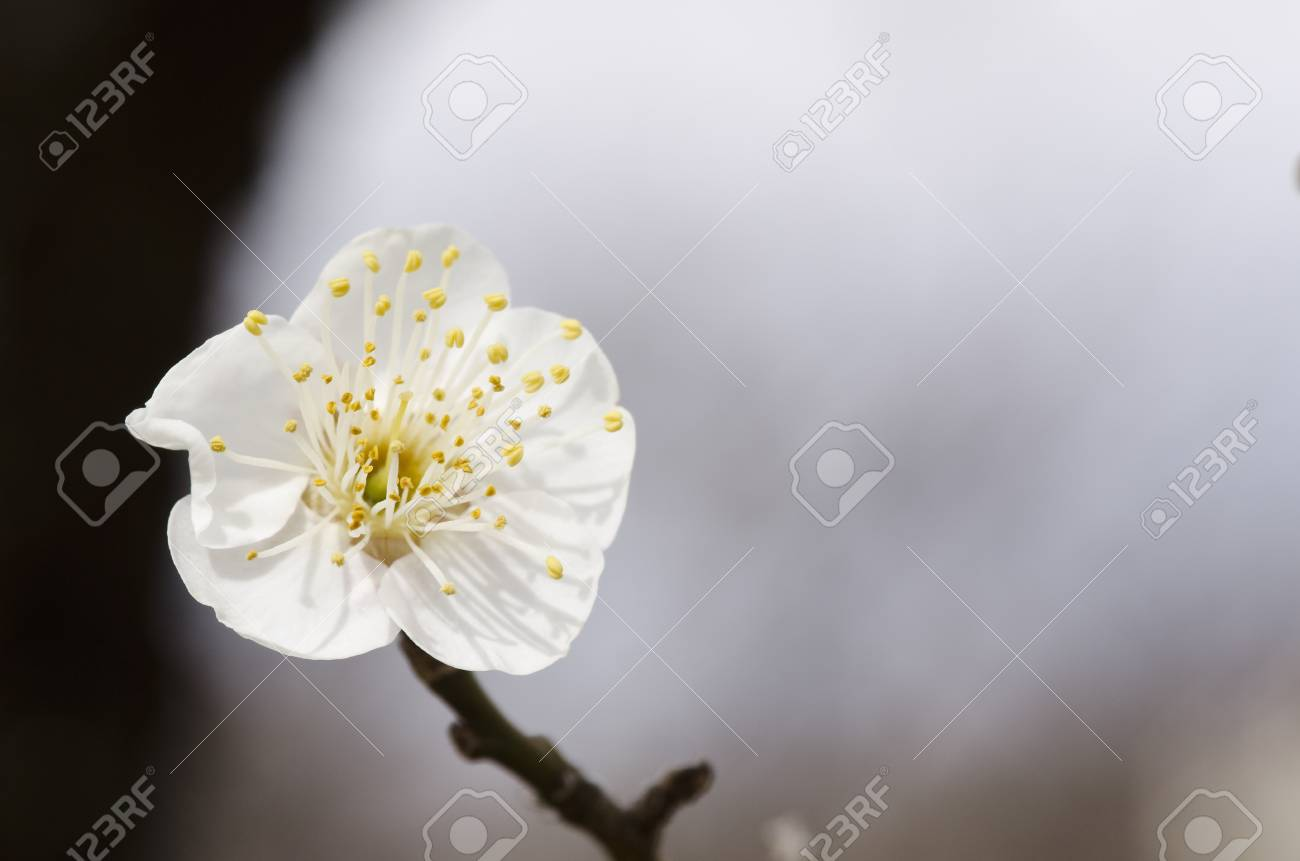 White flowers of a plum tree in spring Stock Photo - 17907016