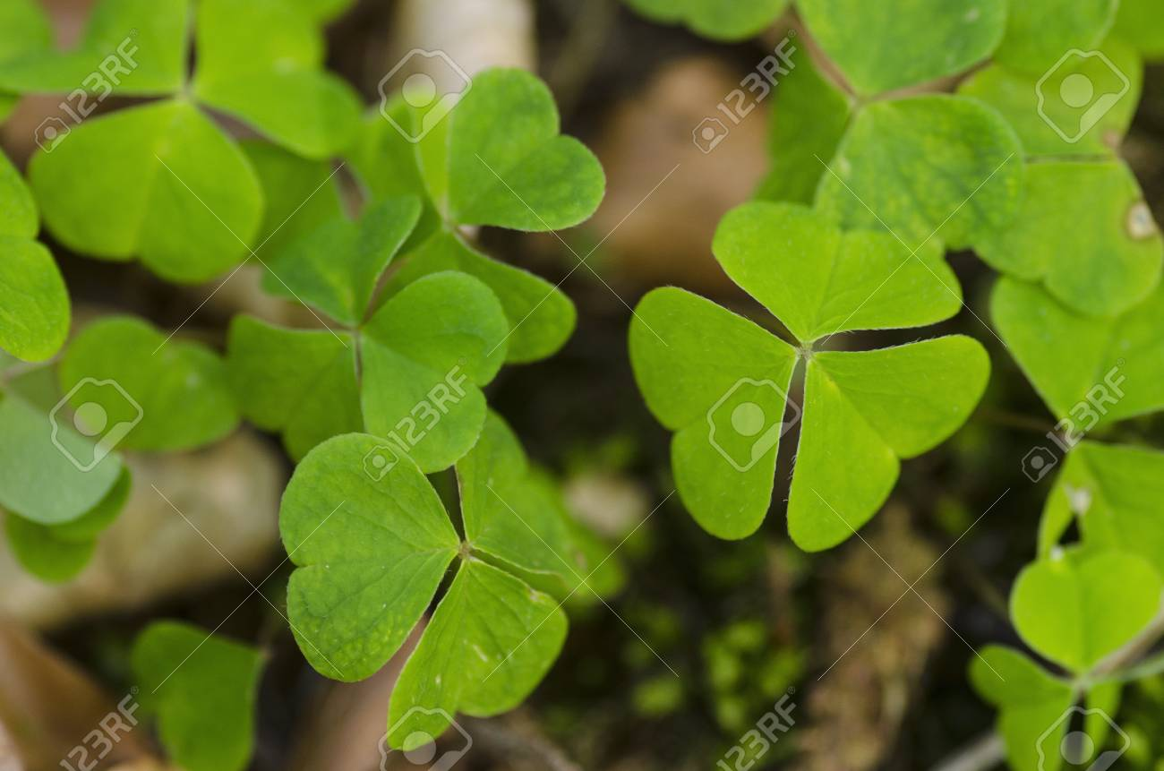 Green clover leaves on the forest floor Stock Photo - 21776522
