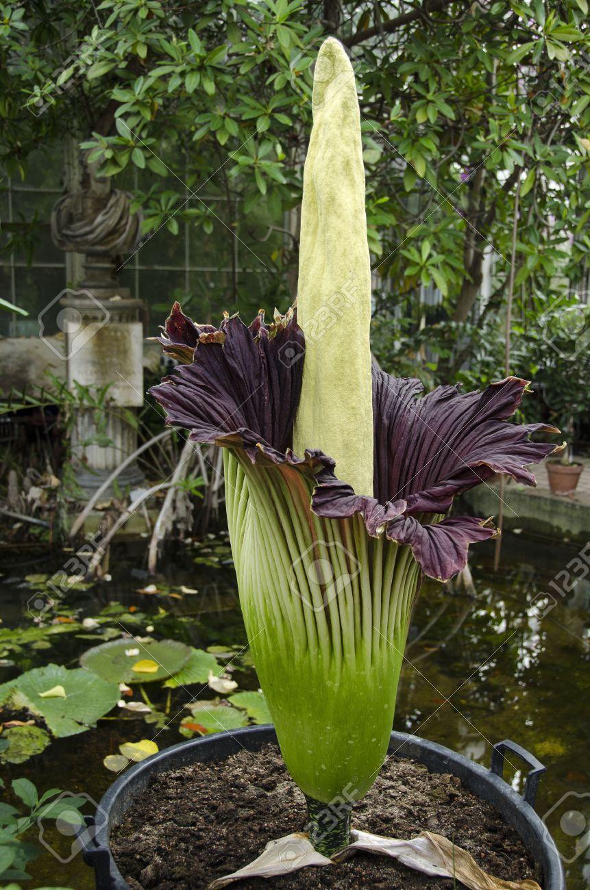 amorphophallus titanum connu sous le nom arum titan ou fleur de
