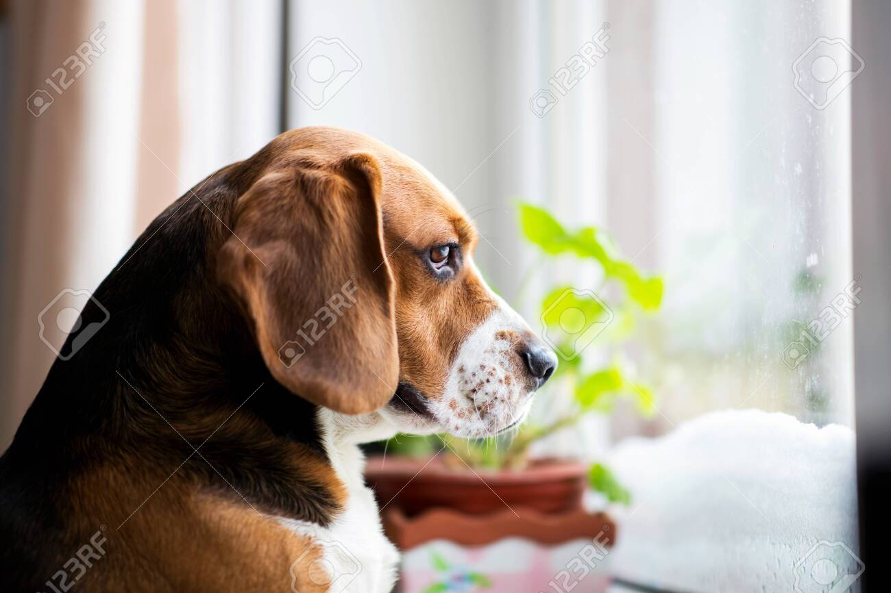 Portrait of american beagle dog sits on the window and sadly looks out the window - 125725968