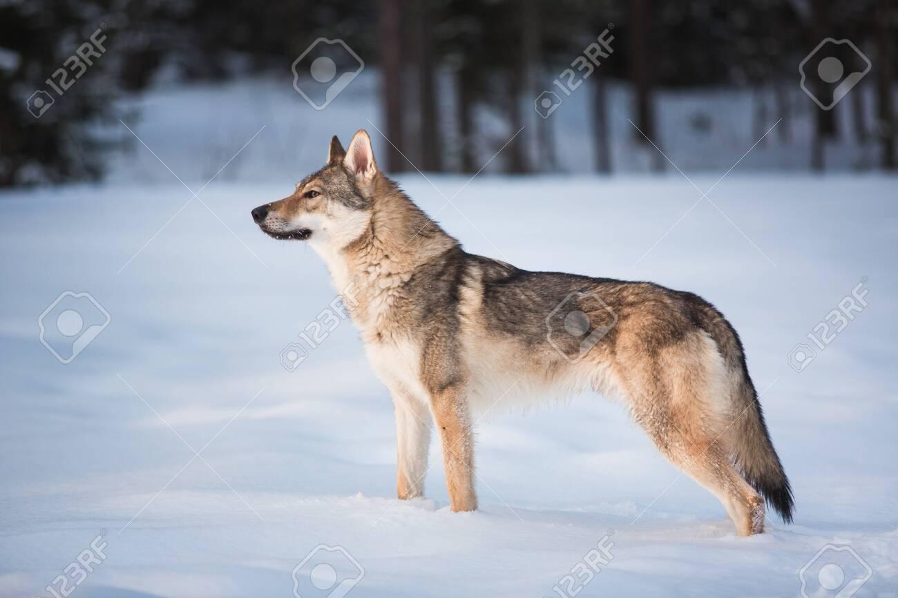 Side veiw at grey wolf - Canis lupus standing in a meadow on snow - 125839548