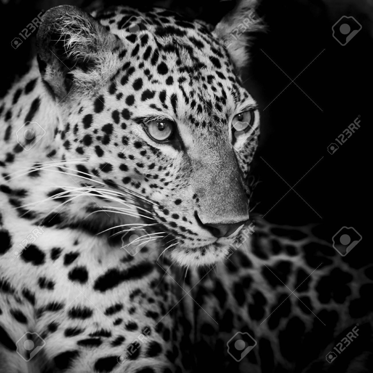 Leopard portrait Stock Photo - 23991319