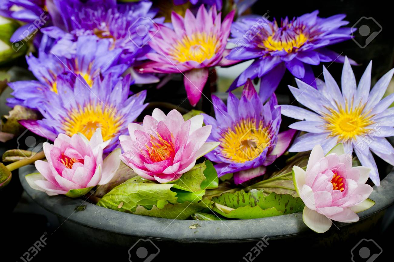 Lotus multicolored many colorful lotus flowers in earthen basins lotus multicolored many colorful lotus flowers in earthen basins stock photo 24020930 mightylinksfo