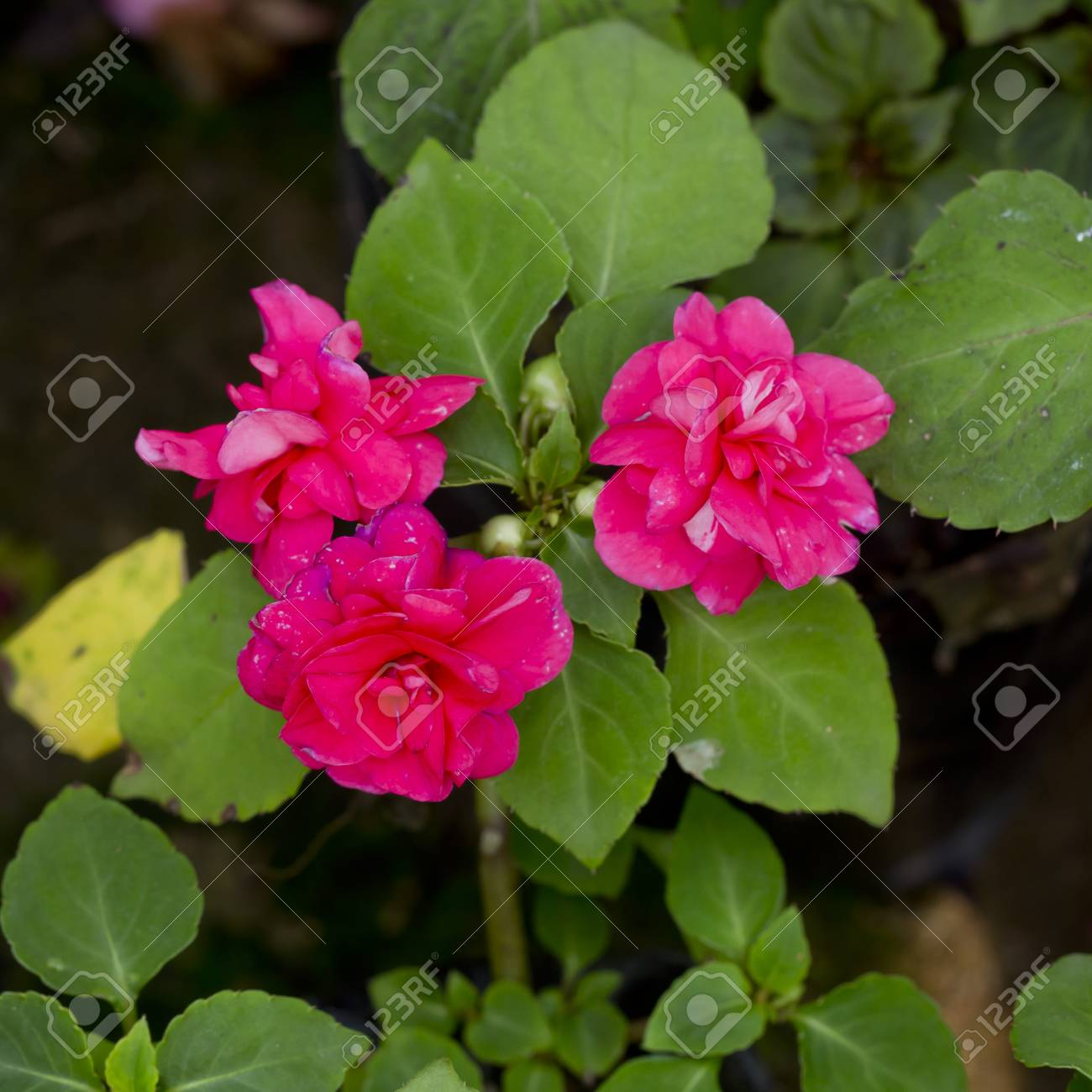 Pink Flower In A Flower Pot Stock Photo Picture And Royalty Free