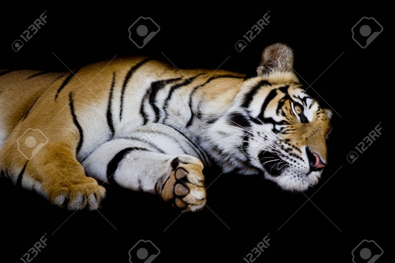 tiger sleep on one s side isolated on black background stock photo
