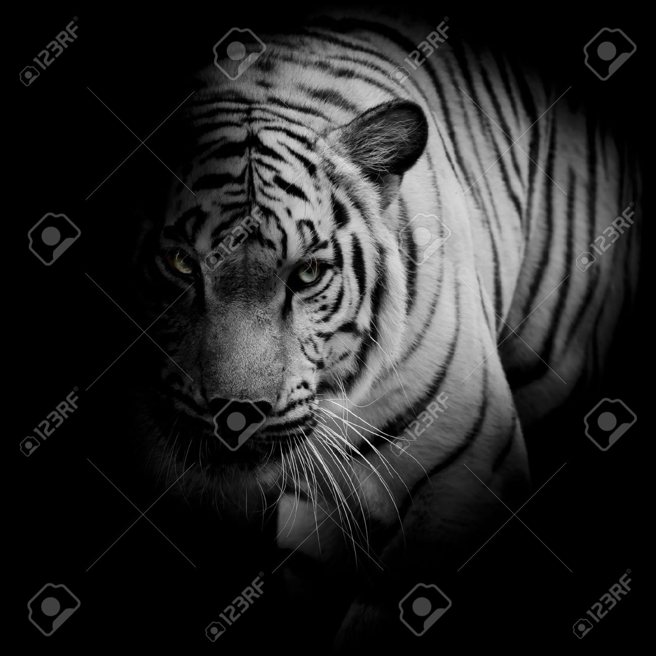 white tiger isolated on black background stock photo, picture and