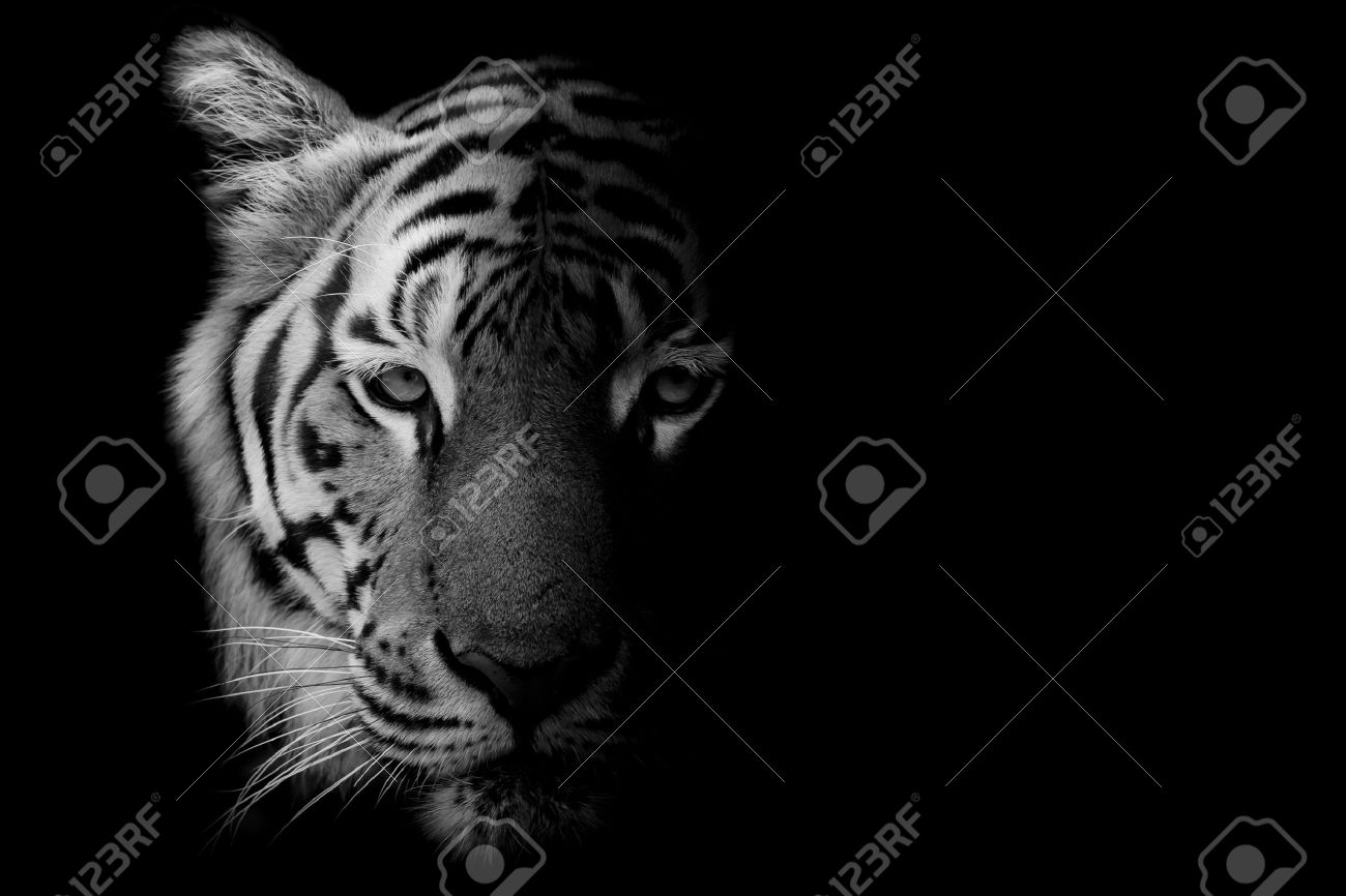 Black white beautiful tiger isolated on black background stock photo 58016285