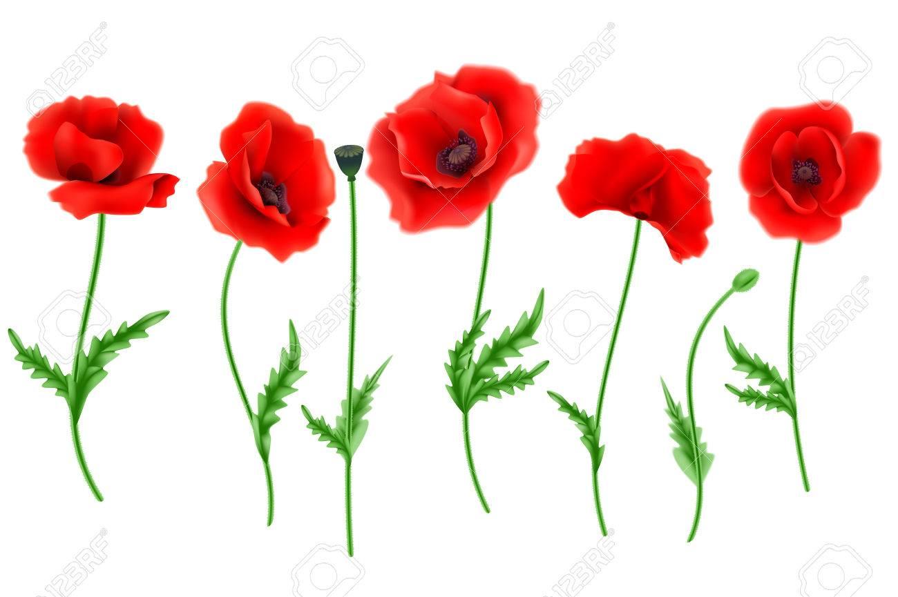 Red Poppy Flower Isolated On White Background Vector Illustration