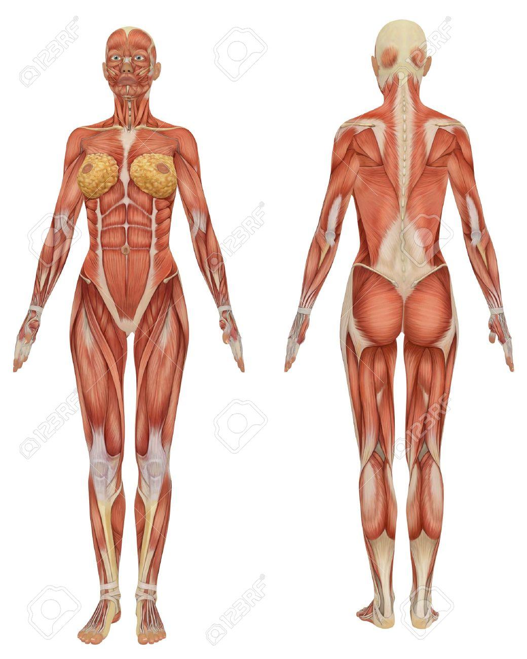 Vorder- Und Rückansicht Der Weiblichen Muskulös Anatomie Sehr ...