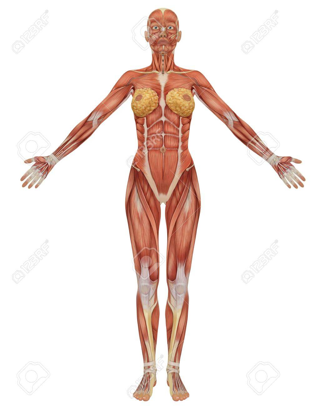 Front view of the female muscular anatomy. Very educational. - 6910370