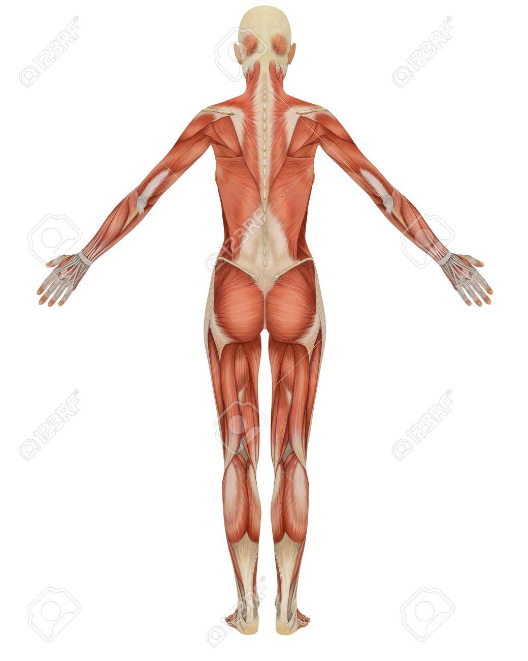 Rear View Of The Female Muscular Anatomy Very Educational Stock