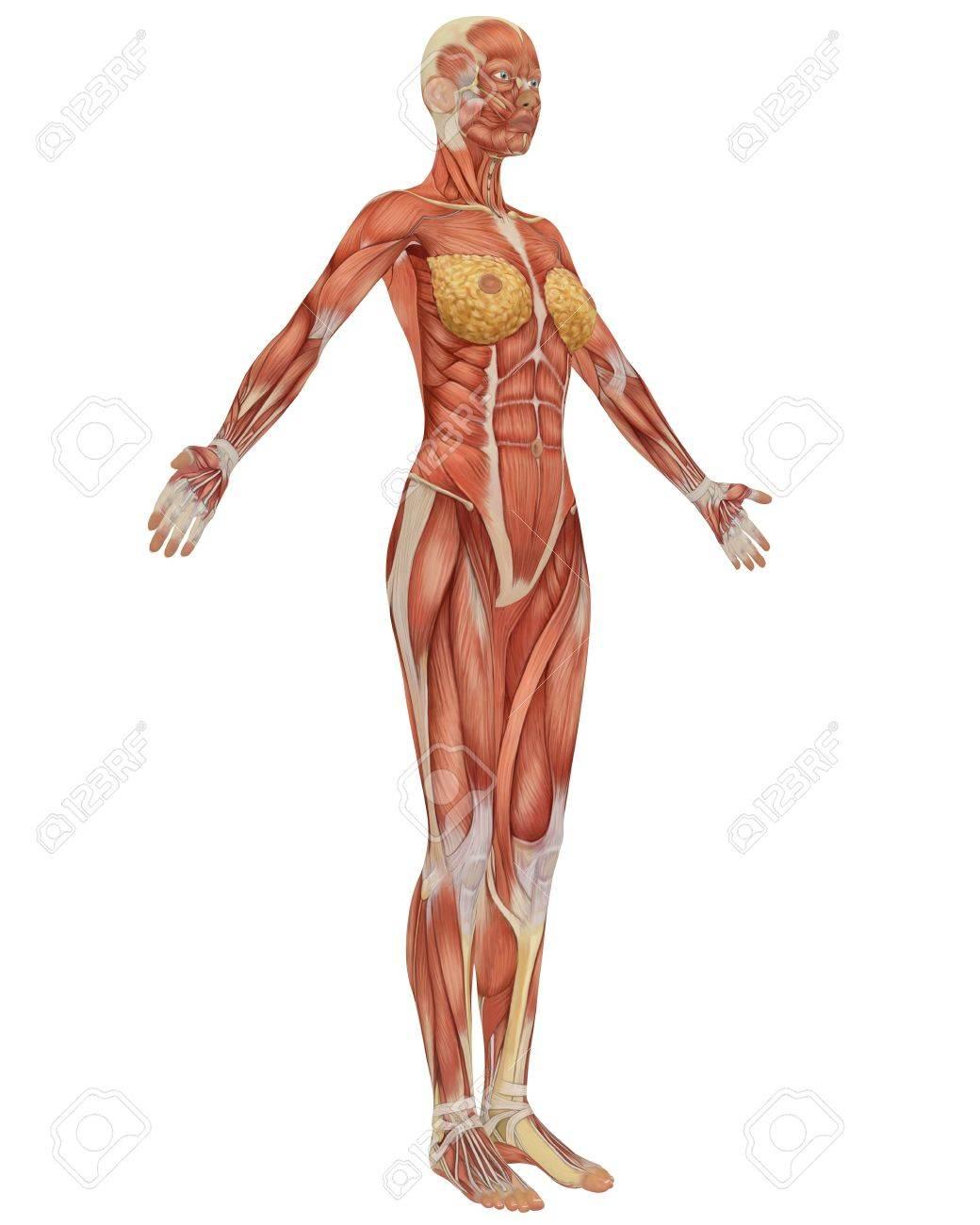 女性の筋肉の解剖学の側面図です...