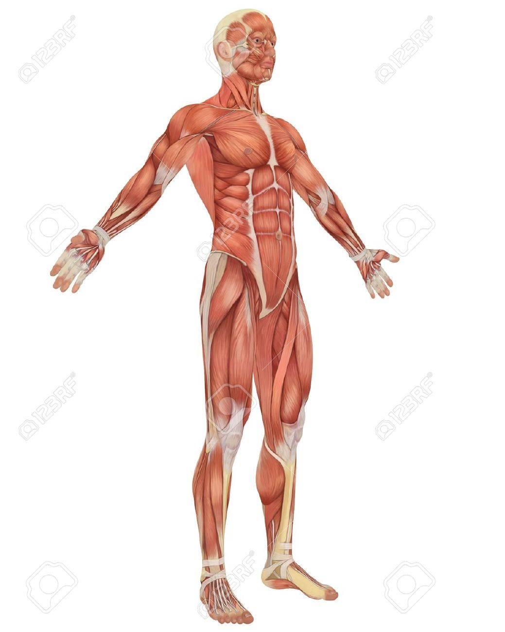 Una Ilustración De La Vista Frontal Angular De La Anatomía Masculina ...