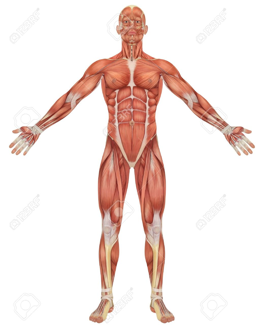 Erfreut Muskelanatomie Zeitgenössisch - Menschliche Anatomie Bilder ...