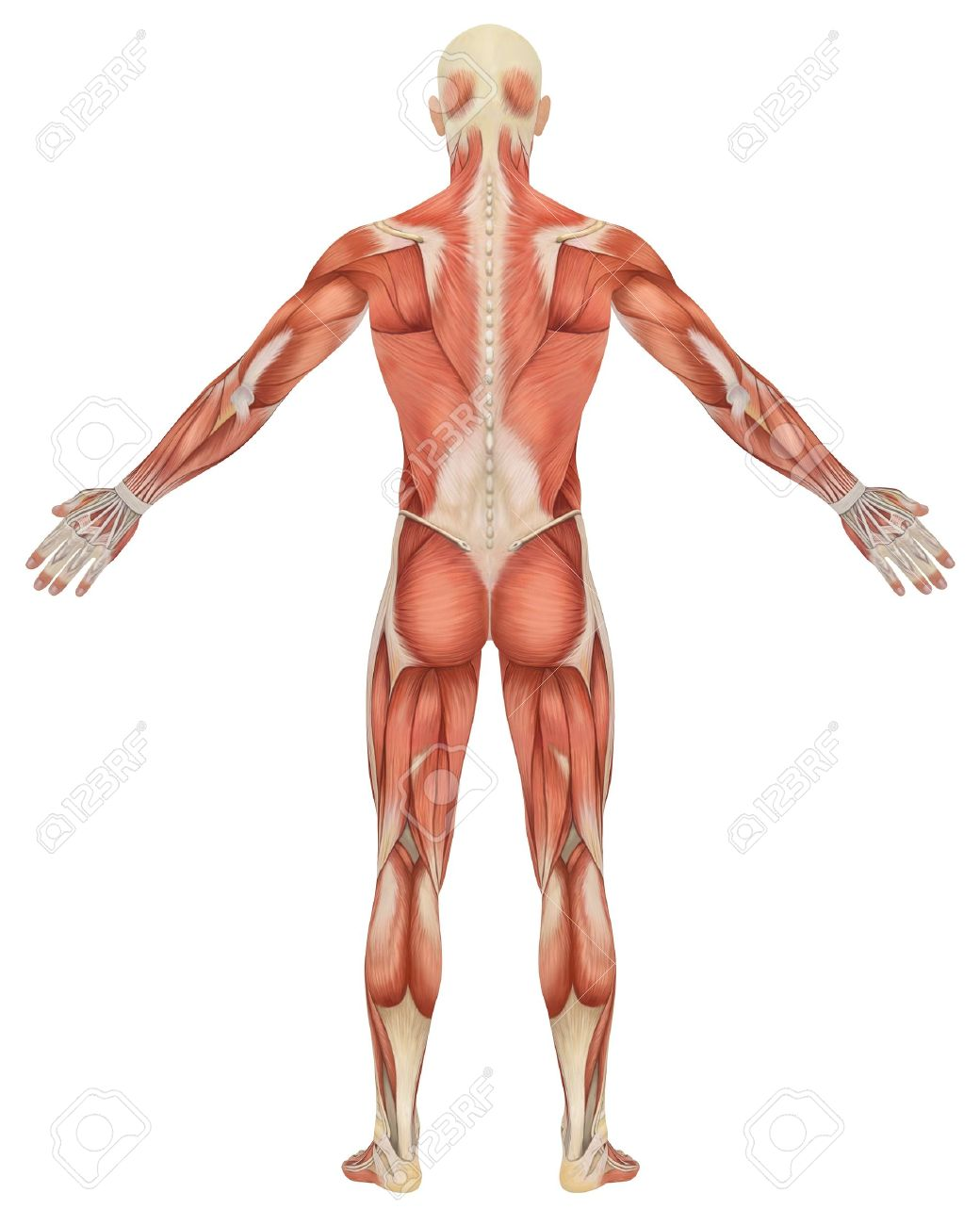 A Illustration Of The Rear View Of The Male Muscular Anatomy ...