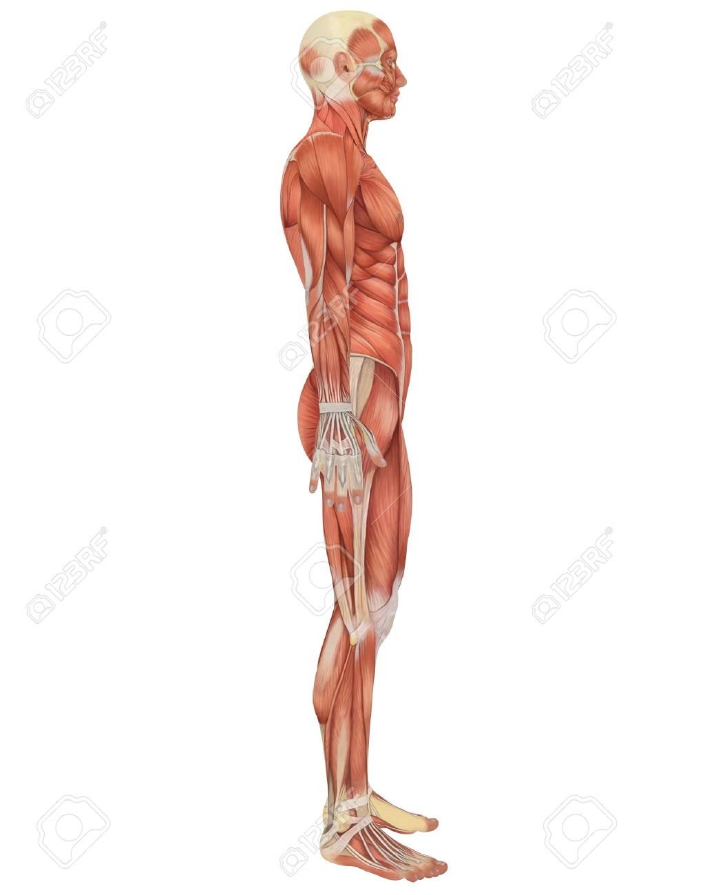 A illustration of the side view of the male muscular anatomy. Very educational and detailed. - 10474824