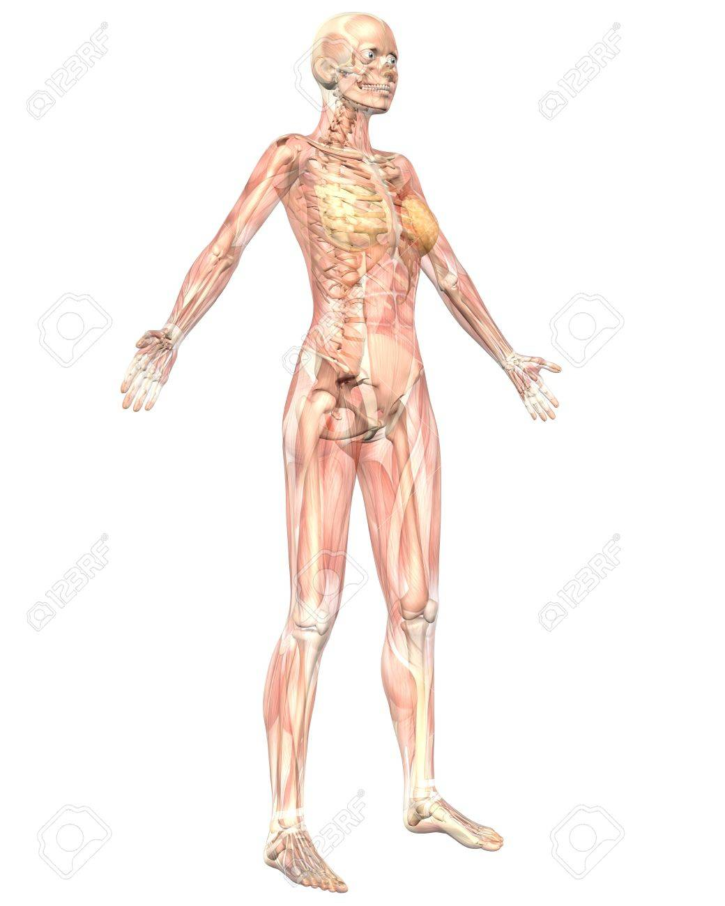 A Illustration Of The Angled Front View Of The Female Muscular ...