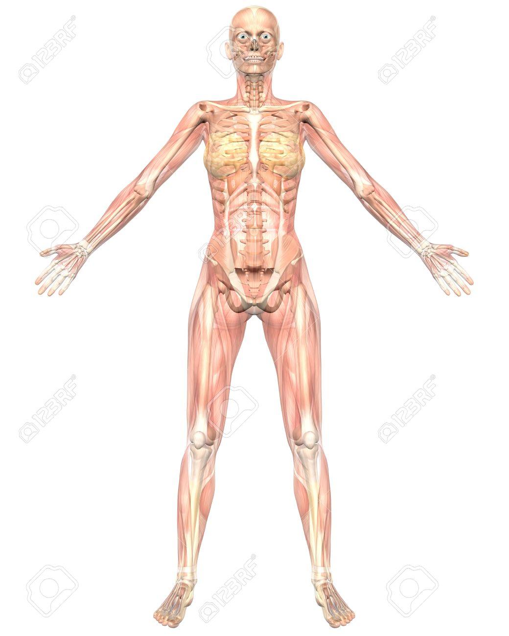 Eine Darstellung Der Vorderansicht Des Weiblichen Anatomie Muskulös ...