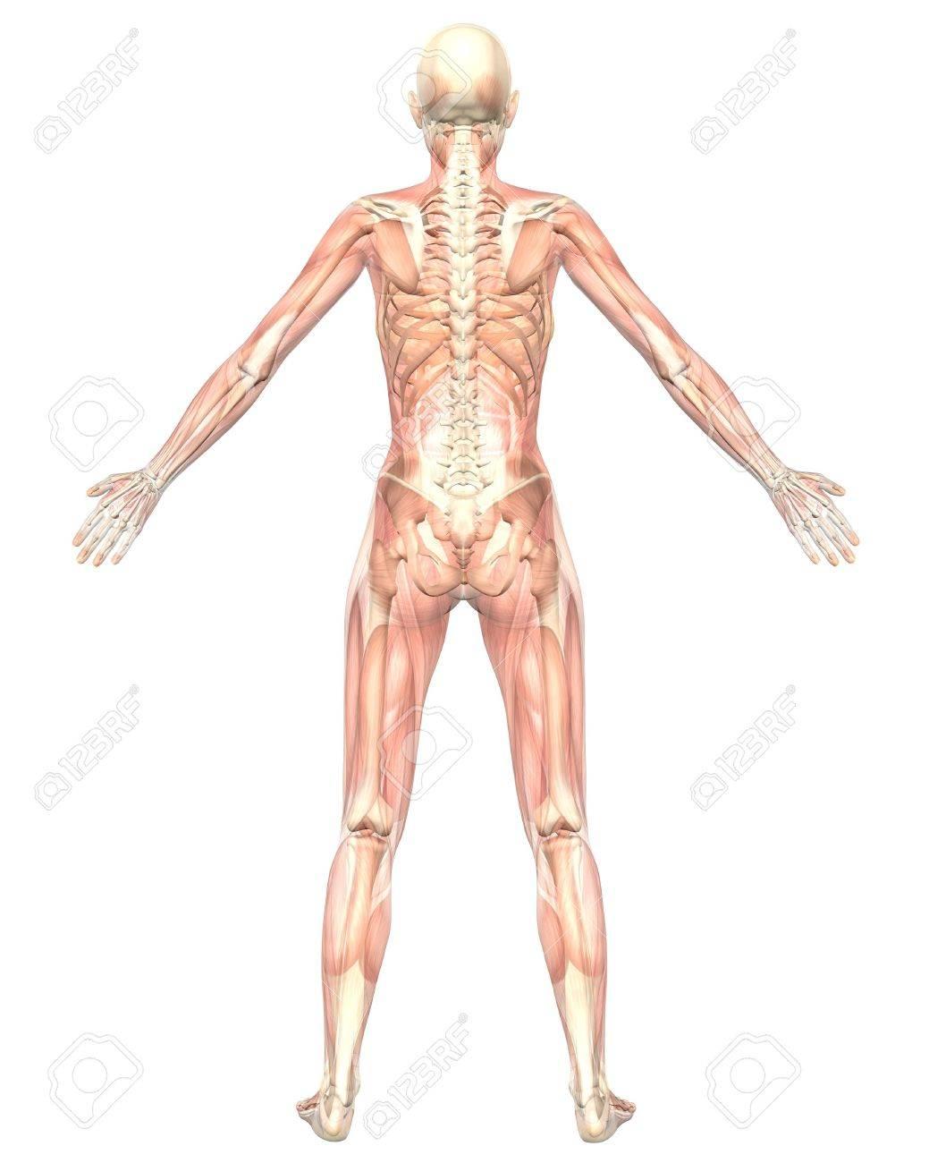 Eine Darstellung Der Rückansicht Der Weiblichen Anatomie Muskulös ...