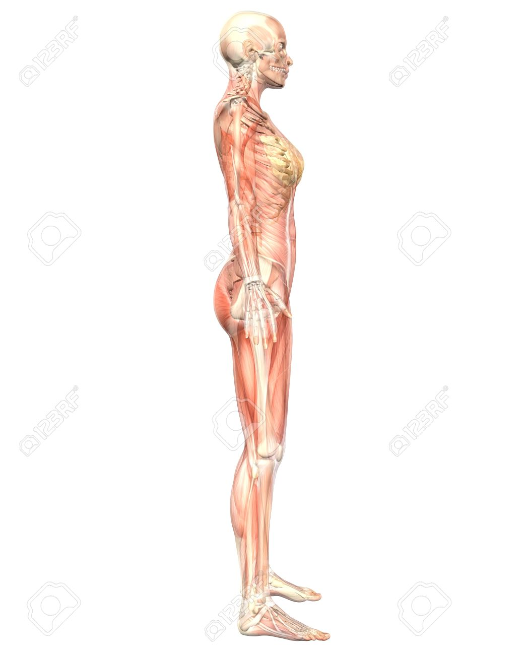 A illustration of the side view of the female muscular anatomy, semi transparent showing the skeletal anatomy. Very educational and detailed. - 10613638