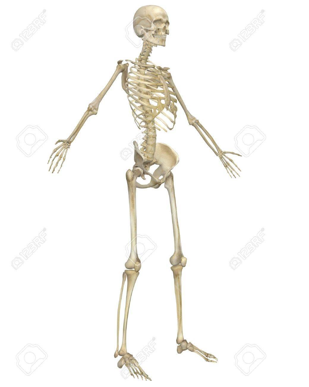 Un Frente En ángulo Ilustración De La Anatomía Del Esqueleto Humano ...